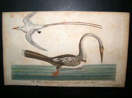 After George Edwards C1800 Hand Col Bird Print. Darter & Red Shafted Tropick Bird
